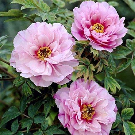 Півонія деревовидна Tree Peonies light pink