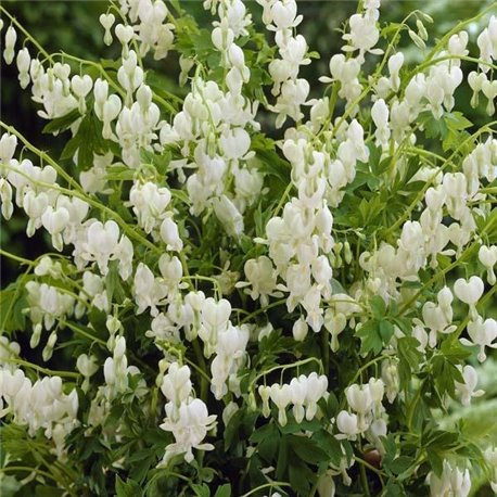 Дицентра spectabilis Alba 1 растение
