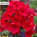 Флокс волотистий paniculata Red Girl 1 рослина