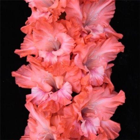 Гладіолус великоквітковий Solist 4 цибулини
