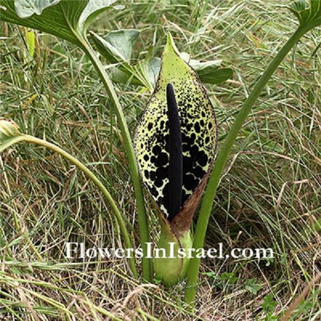Арум Dioscoridis 1 луковица
