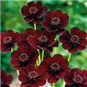 Космос шоколадный Atrosanguineus 1 растение