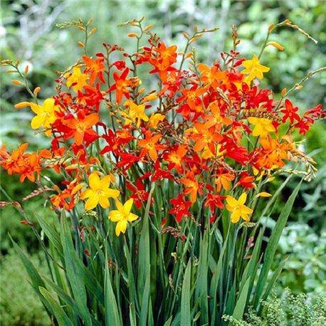 Крокосмія Large Flowering мікс 5 цибулин
