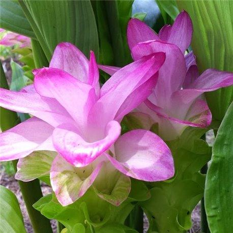 Куркума Zedoaria Pink Wonder 1 луковица