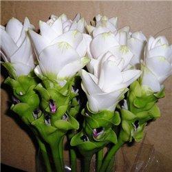 Куркума Zedoaria White Wonder 1 цибулина