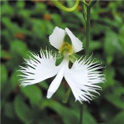 Хабенария radiata variegata 1 клубень
