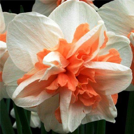 Нарцисс махровый Delnashaugh 2 луковицы