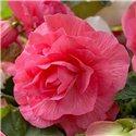 Бегония махровая розовая 1 клубень