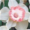 Нарцисс крупнокорончатый High Society 1 луковица