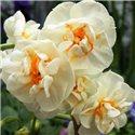 Нарцисс махровый многоцветковый Bridal Crown 2 луковицы
