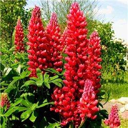Люпин многолетний крупноцветковый Красное пламя 1 растение
