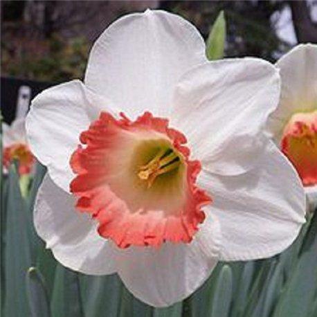 Нарцисс крупнокорончатый Pink Charm 3 луковицы