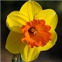Нарцисс крупнокорончатый Mary Bohannon 1 луковица