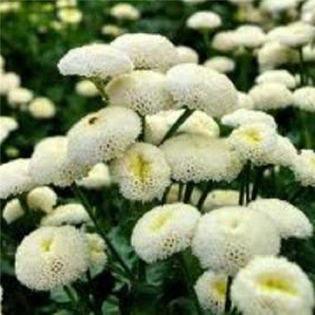 Ромашка девичья махровая белая 1 растение