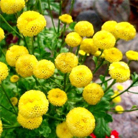 Ромашка дівоча махрова жовта 1 рослина