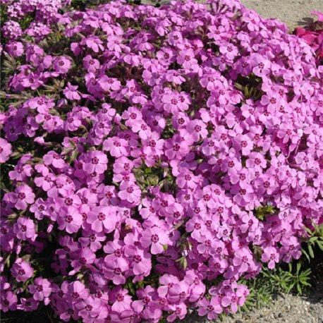 Флокс шиловидный розовый 1 растение в контейнере