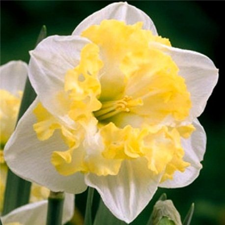 Нарцисс сплит-корона Printal 3 луковицы