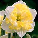 Нарцисс сплит-корона Printal 1 луковица