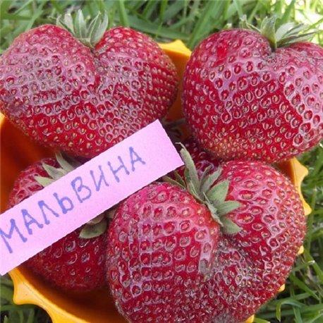 Суниця садова Мальвіна 3 саджанці