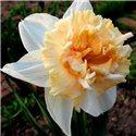 Нарцисс махровый Petit Four 1 луковица