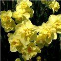 Нарцисс махровый многоцветковый Yellow Cheerfulness 2 луковицы