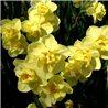Нарцисс махровый Yellow Cheerfulness 3 луковицы
