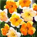 Нарцис спліт-корона суміш 5 цибулин
