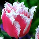 Тюльпан бахромчатый Bell Song 1 луковица