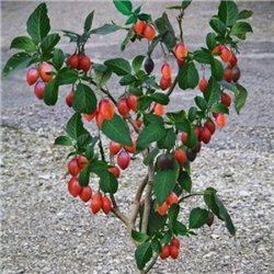 Томатное дерево Тамарилло 1 саженец