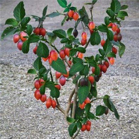 Томатне дерево Тамарілло 1 саджанець