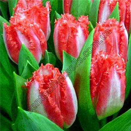 Тюльпан бахромчатый Lingerie 3 луковицы