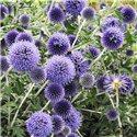 Мордовник ritro 1 растение