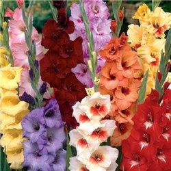 Гладіолус великоквітковий мікс 20 цибулин