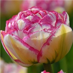 Тюльпан махровый ранний Double Touch 3 луковицы