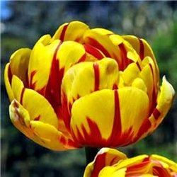 Тюльпан махровый Golden Nizza 3 луковицы