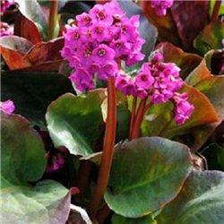 Бергенія cordifolia Red 1 рослина
