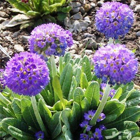 Примула denticulata Lilac 1 растение