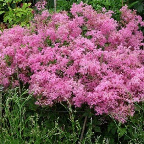 Філіпендула rubra Venusta 1 рослина