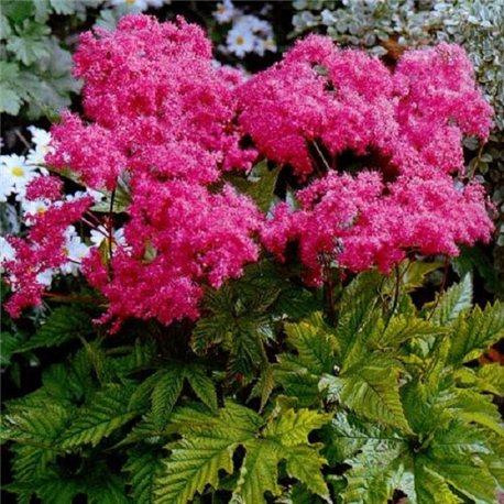 Филипендула purpurea Elegans 1 растение