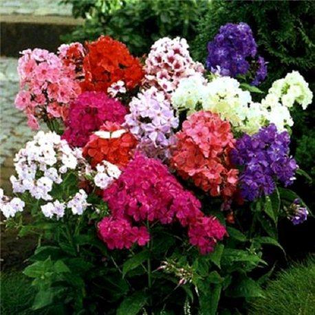 Флокс метельчатый paniculata смесь 3 растения