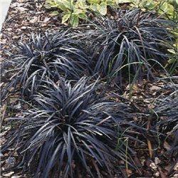 Офиопогон planiscarpus Niger 1 растение