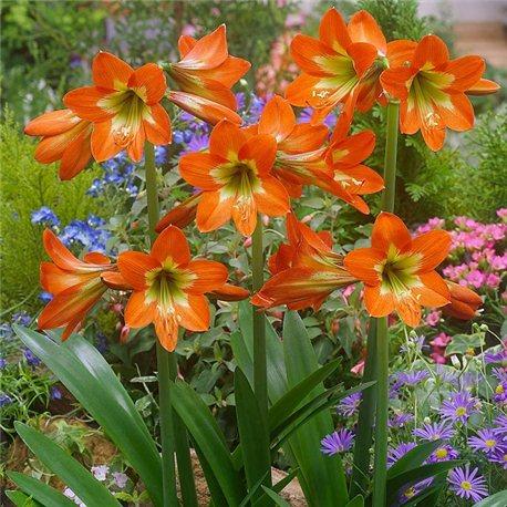 Гиппеаструм Sonatini Orange Rascal 1 луковица