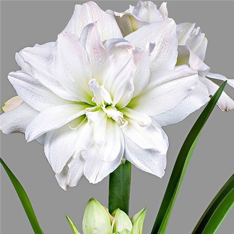 Гиппеаструм Amaryllis Arctic Nymph Double 1 луковица