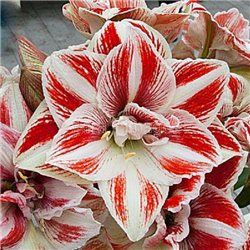 Гіпеаструм Amaryllis Bright Nymph Double 1 цибулина
