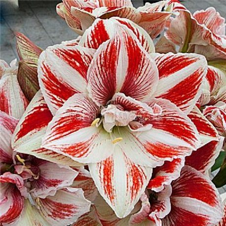 Гиппеаструм Amaryllis Bright Nymph Double 1 луковица