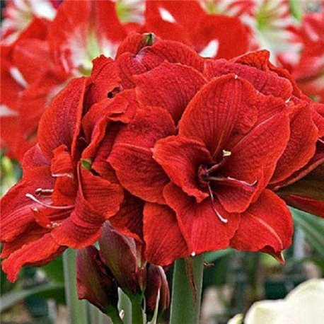 Гиппеаструм Amaryllis Cherry Nymph Double 1 луковица