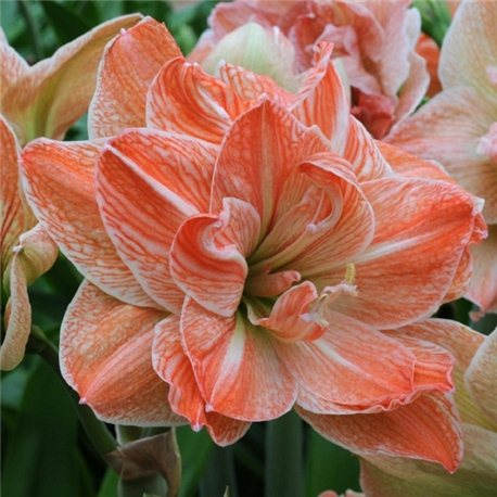 Гиппеаструм Amaryllis Exotic Nymph Double 1 луковица