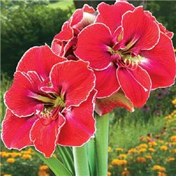 Гиппеаструм Amaryllis Magical Touch Specials 1 луковица