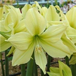 Гиппеаструм Amaryllis Yellow Star 1 луковица