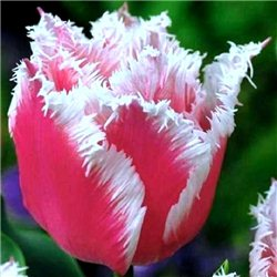 Тюльпан бахромчатый Bell Song 3 луковицы